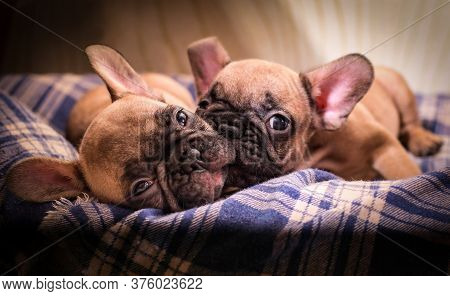 Sleepy French Bulldog Puppies. Cute Little Puppy.