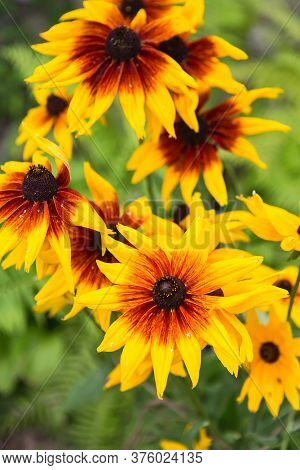 Yellow Garden Flowers Of Rudbeckia