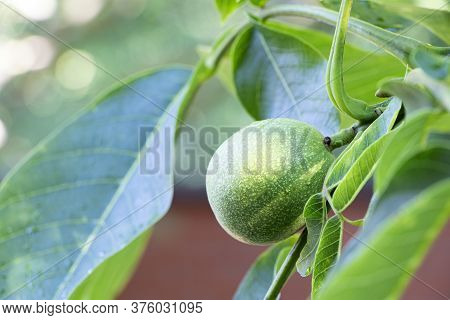 A Green Walnut Growing On A Tree. A Branch With Young Green Unripe Walnut. Leaves Of Walnut Tree. Ha