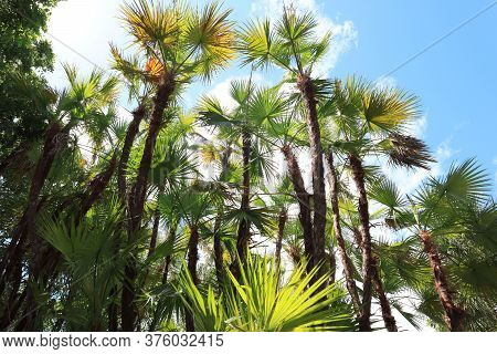 Palm Trees In Homestead Bayfront Park, Palm Trees Background Sky, Palm Trees And Blue Sky, Tall Flor