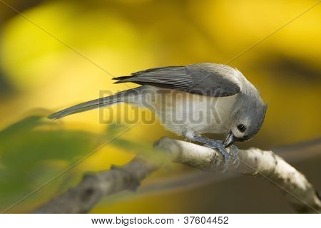 Tufted Titmouse (Baeolophus bicolor) cracking open a Sunflower Seed - Ontario Canada poster