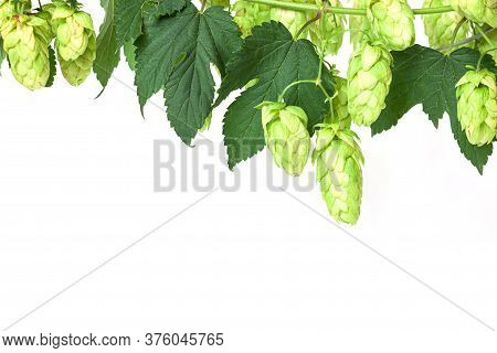 Hop Twig Over White Background. Vintage Style. Beer Production Ingredient. Brewery. Fresh-picked Who