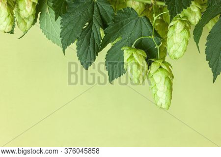 Hop Twig Over Green Background. Vintage Style. Beer Production Ingredient. Brewery. Fresh-picked Who