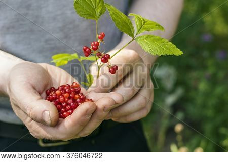 In The Palms Of Men A Sprig With Berries And A Handful Of Stone Bramble.  Harvesting Wild Berries In