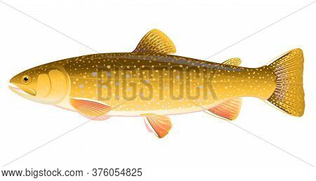 Realistic Brook Trout Fish Isolated Illustration, One Freshwater Fish On Side View