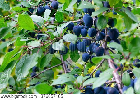 Branch With Green Leaves And Dark Blue Blackthorn Berries. Harvesting Thistle Berries