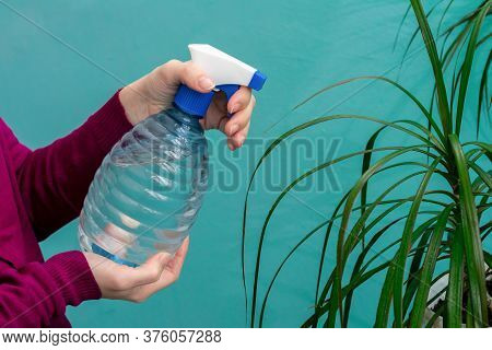 Close Up View Of A Female Hands, Which Are Spraying Water On Leaves Of Dracaena Plant At Home. Garde