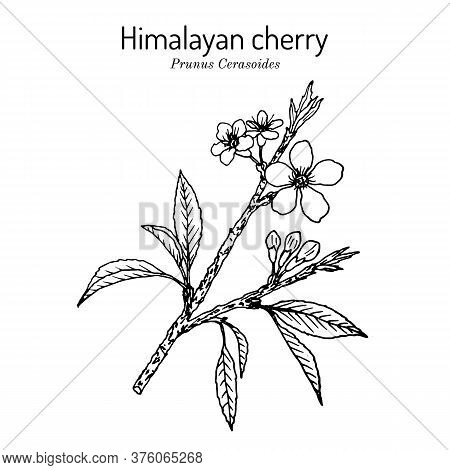 Himalayan Or Sour Cherry Prunus Cerasoides , Medicinal Plant. Hand Drawn Botanical Vector Illustrati