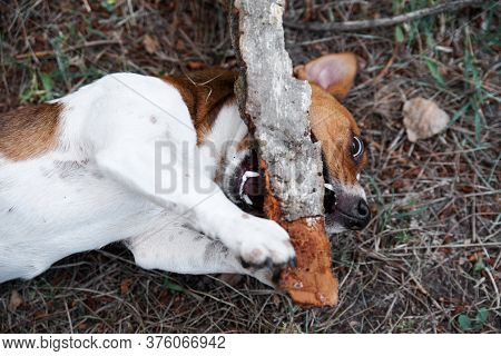 Jack Russell Terrier Playing Outside At Grass And Smiles. Breed Jack Russell Terrier Nibbles A Big S
