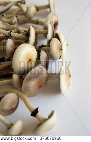 Fungi Hallucinogen. Medical Research Of Psilocybin . Psilocybin Cubensis Mushroom. Growing Albino A