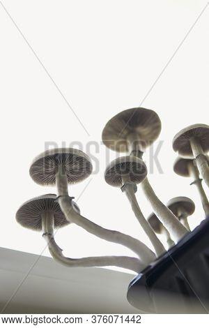 Growing Albino A Strain. Magic Shroom. Fungi Hallucinogen.