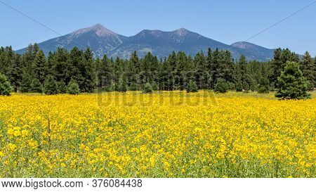 Lanscape With Yellow Flowers And Mountains At Entrance Of Flagstaff In U.s. State Of Arizona Surroun