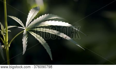 A Large Leaf Of Hemp In The Sun.openwork Leaf Under The Sun.green Almighty.green Leaves Glow In The