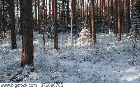 Small Sunlit Christmas Trees Covered In Fresh Snow In A Fabulous Winter Pine Forest