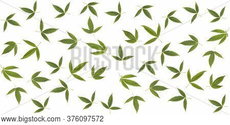 Cannabis Natural Leaves Seamless Pattern On White Background.