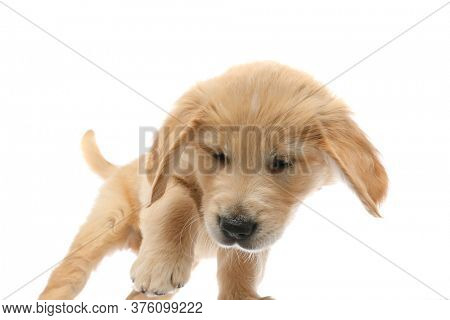 baby golden retriever dog poking something on the ground that made him intrigued on white studio background