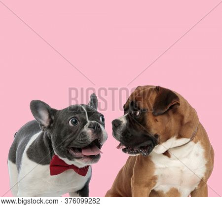 team of french bulldog and boxer wearing bowtie, panting and sticking out tongue on pink background