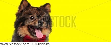Adorable Pomeranian looking away, wearing bowtie and panting on yellow studio background