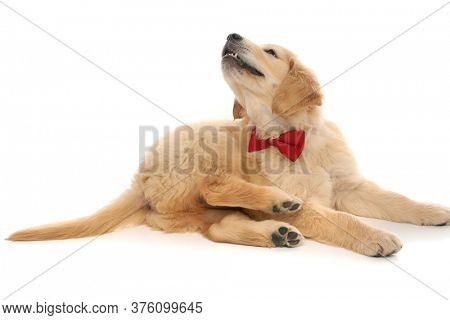 little golden retriever dog lying down, looking up with his head twisted and wearing a red bowtie on white studio background