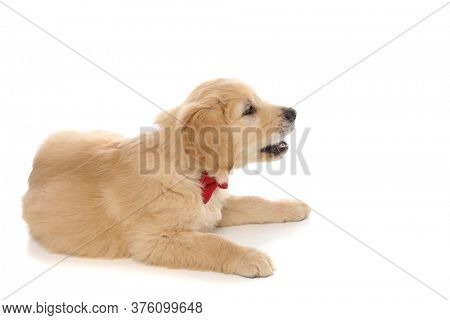 side view of a baby golden retriever dog lying down, barking at something and wearing a red bowtie on white studio background