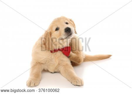seated golden retriever dog scratching himself due to a nasty itch, wearing a red bowtie and looking at camera on white studio background