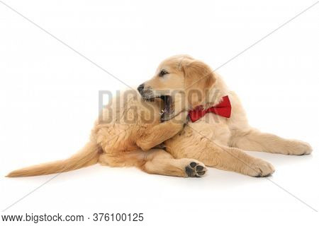 cute golden retriever dog lying down, biting his leg and wearing a red bowtie on white studio background