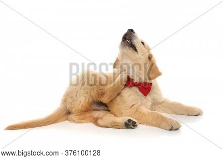 small adorable golden retriever dog lying down, scratching his neck and wearing a red bowite on white studio background
