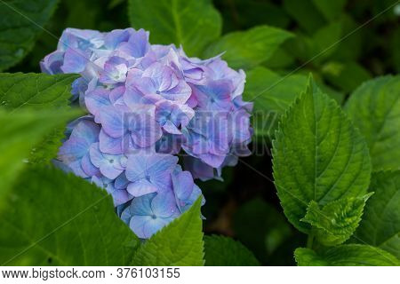 Landscaped Yard With Hydrangeas.japanese Blue Hydrangea In The Spring Or Summer.many Blue Hydrangea