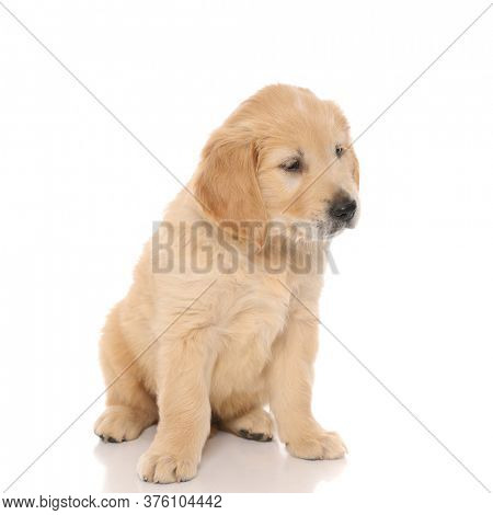 cute golden retriever dog sitting, looking away at something and being indifferent on white isolated background