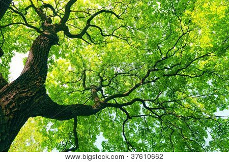 Mighty Tree With Green Leaves