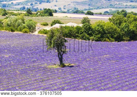 Beautiful lavender filed in Provence with a lonely tree, France