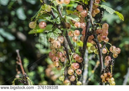 Pink Red Currant Berries On The Bush On A Natural Background. Garden Photo. Healthy Food.