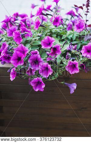 Pink Petunia In Wooden Container Flower Pot Outside, Outdoors Planting Landscaping, Vertical Stock P