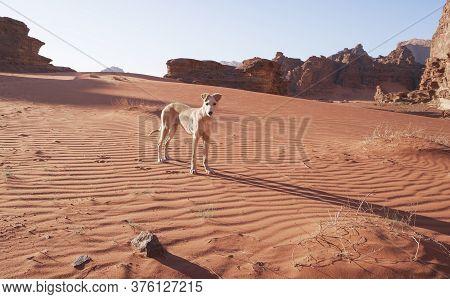 White Hound Dog Puppy In The Sand. Dunes In The Wadi Rum Desert Jordan