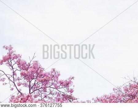 Pink Tabebuia Flower Blossom Against Blue Sky.  Pink Flower Chompoo Pantip Blossom In Thailand, Thai