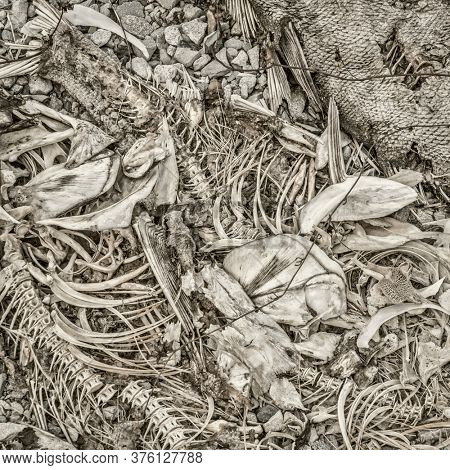 fish bones and remains left on a river shore by herons, square format black and white image with platinum toning