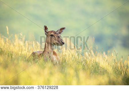 Fallow Deer Doe Lying On Field During The Summertime.
