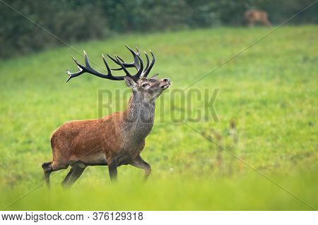 Proud Red Deer Stag Walking On Meadow With Majestic Antlers.