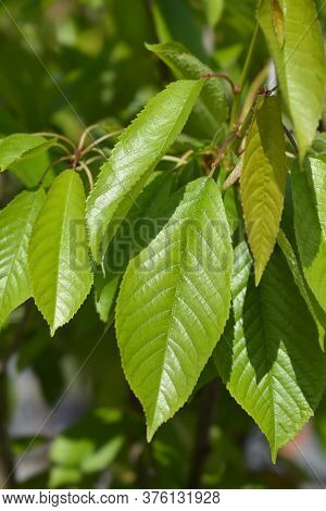 Sweet Cherry Tree Moretta Di Vignola Leaves - Latin Name - Prunus Avium Moretta Di Vignola