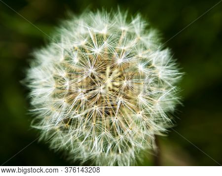 White Fluff Of Dandelion Flower On A Black Background. Wildflowers. Macro Photo. Flowerbed. Backgrou