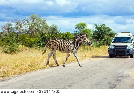 Zebra crosses a narrow road in front of a car with tourists in a park. Animals live and move freely in the  savannah. South Africa. The famous Kruger Park. The concept of exotic and photo tourism
