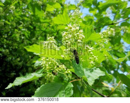 Winged Bee Slowly Flies To The Plant, Collect Nectar For Honey On Private Apiary From Flower. Nature