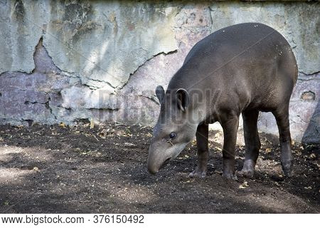 Valencia / Spain  July 09 2019: Tapirus Terrestris Alone And In Search For Food