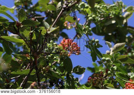 Elderberry Ripen On The Branches Of A Bush