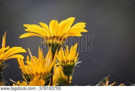 Gazania Rigens Flower Or Treasure Flower With Selective Focus And Copy Space For Texts Writing