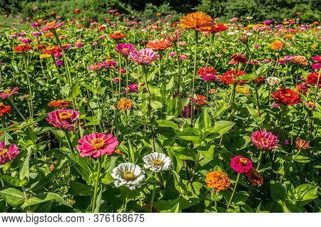 Variety Of Vibrant Multicolored Zinnias Closeup In A Farm Field In Full Bloom On A Bright Sunny Day