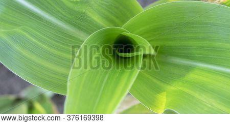 Beautifal Fresh Green Corn Leaves Close Up