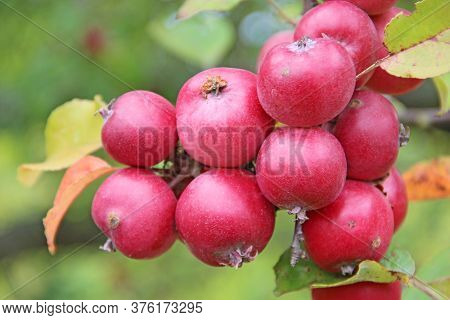 Red And Ripe Ranetki Tree Branches. Paradise Apples Close-up. Paradise Apples Hang On Tree Branch. R