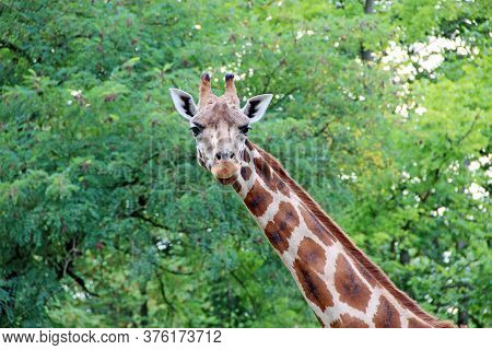 Head Of Spotted Giraffe On Background Of Green Foliage. Tallest Animal In The World. The Giraffe Is