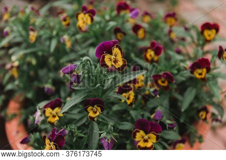 Beautiful Spring Pansy Flowers , Flowerbed With Blooming Flowers And Green Leaves. Flower Face With
